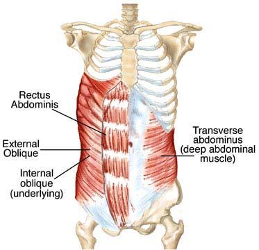 http://scioly.org/wiki/index.php/File:Transverse_Abdominis.jpg